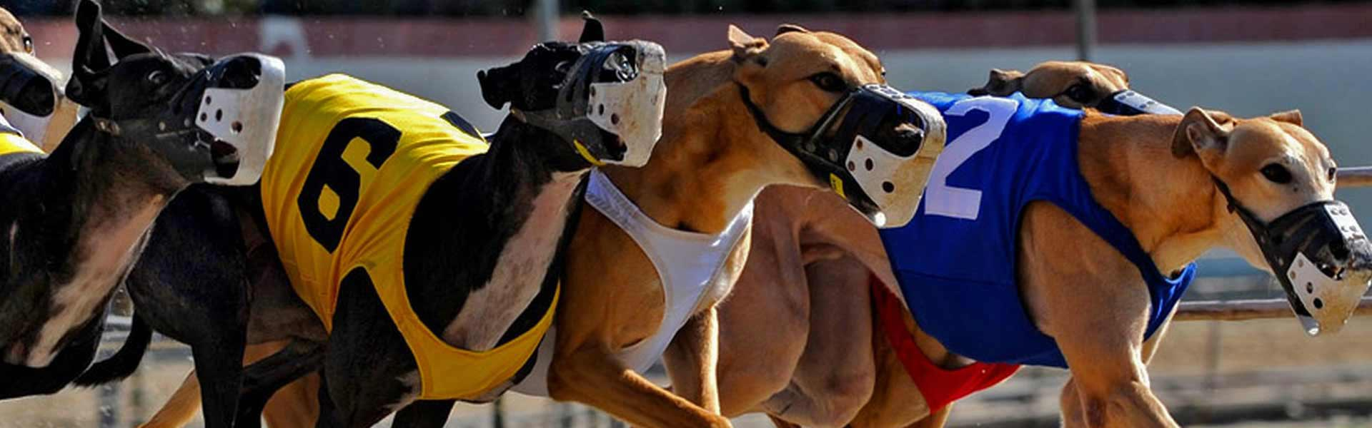 Greyhound racing live betting sports horse betting machine learning book